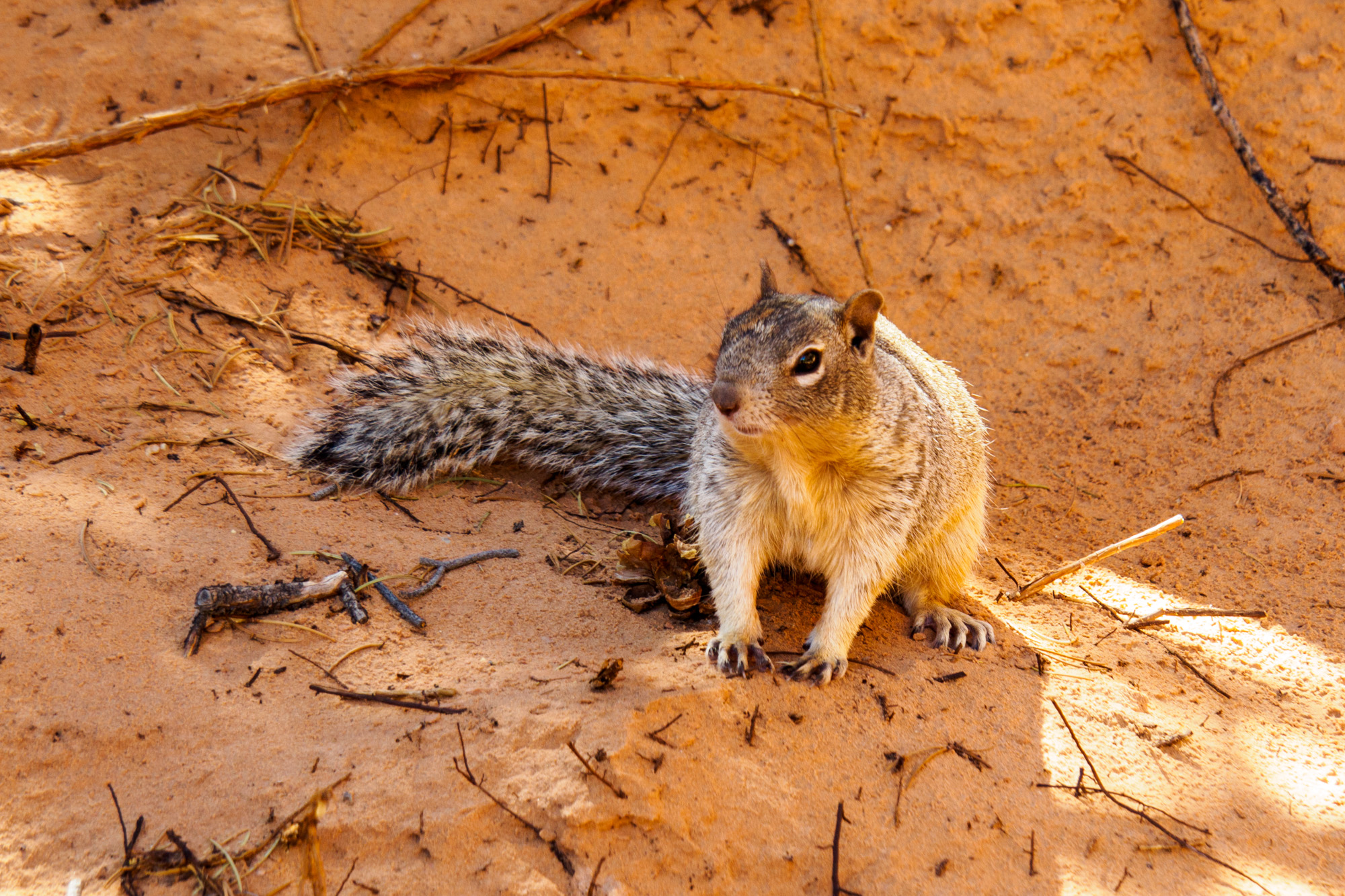 Arches Nationalpark - Erdhörnchen