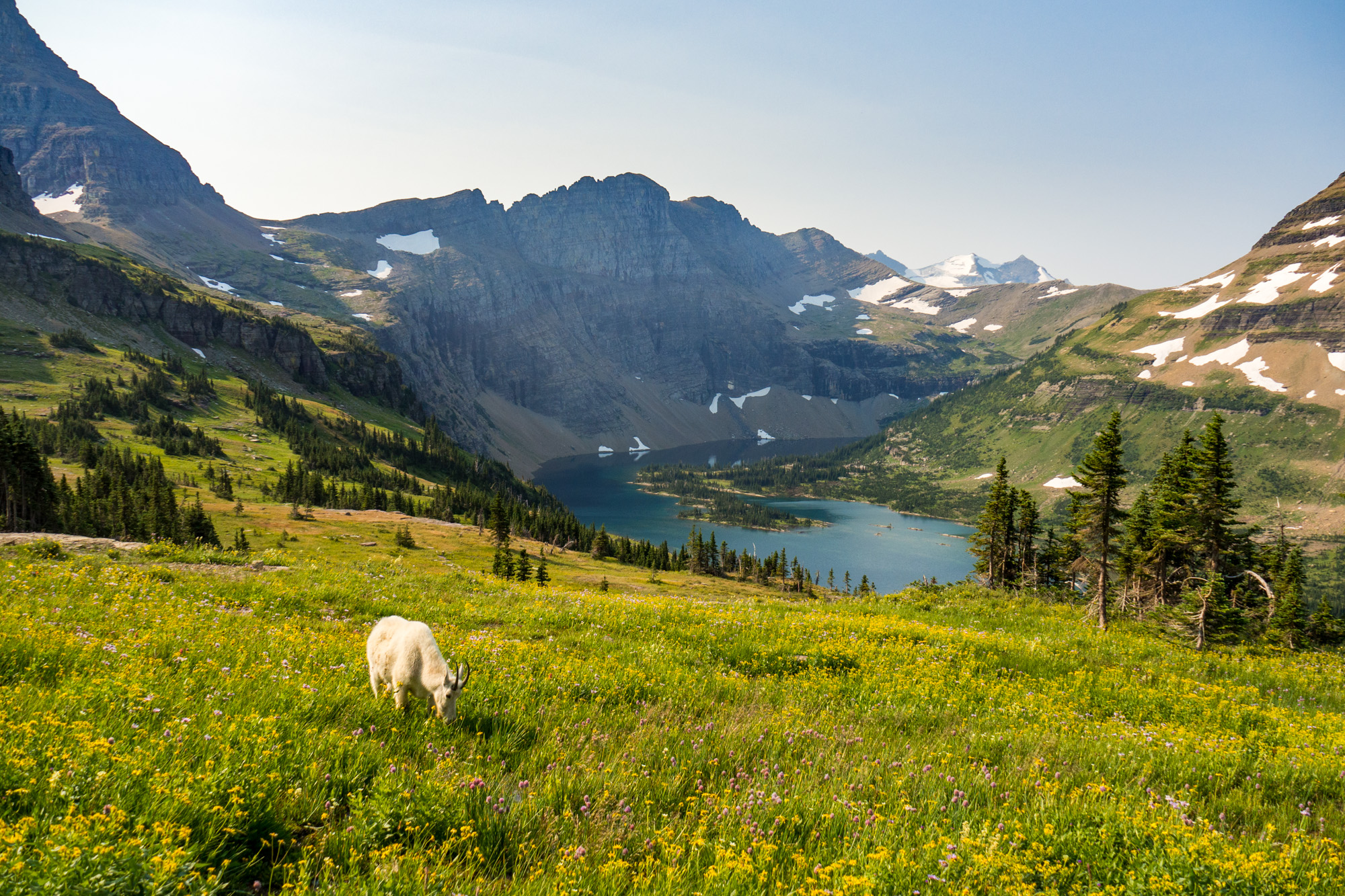 Glacier Nationalpark - Bergziege beim Hidden Lake
