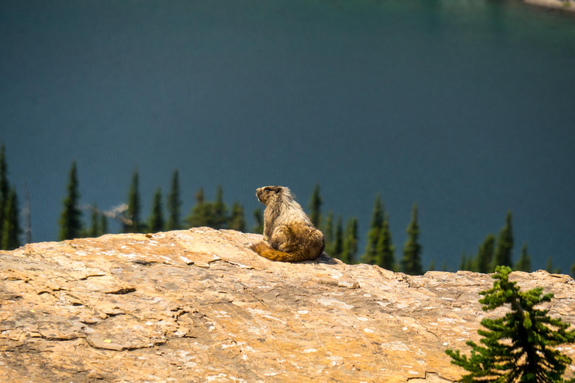 Glacier Nationalpark - Murmeltier beim Hidden Lake