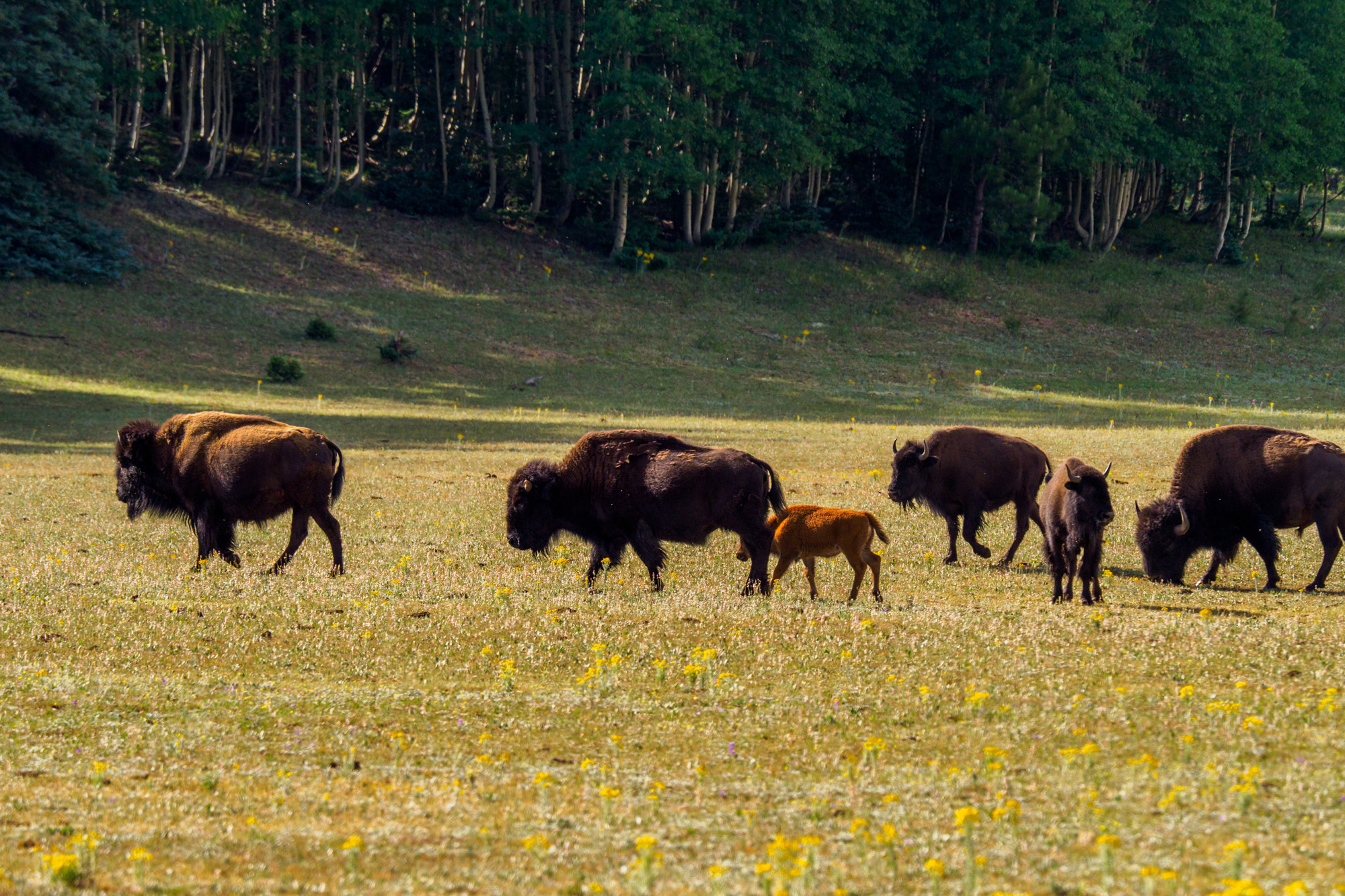 Grand Canyon Nationalpark - Bisons im Kaibab National Forest