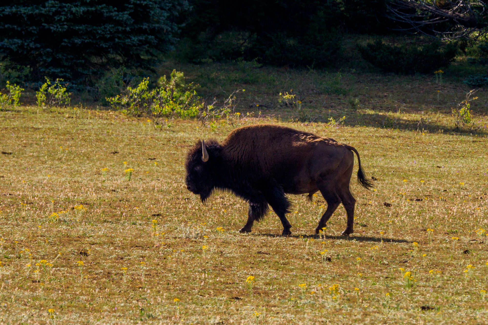 Grand Canyon Nationalpark - Bison im Kaibab National Forest