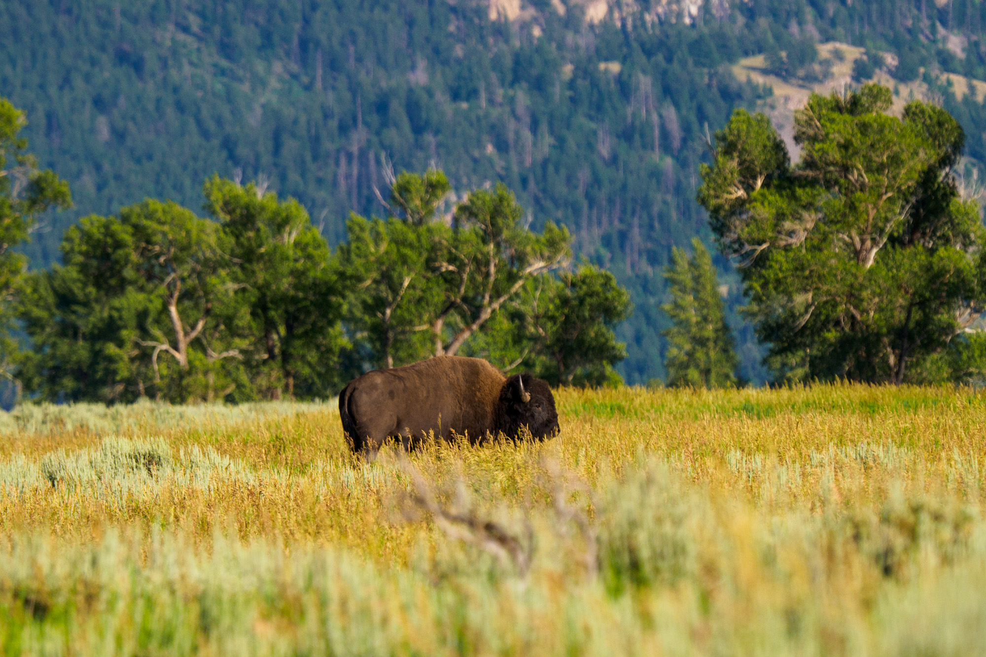 Grand Teton Nationalpark - Bison in der Jackson-Hole-Ebene