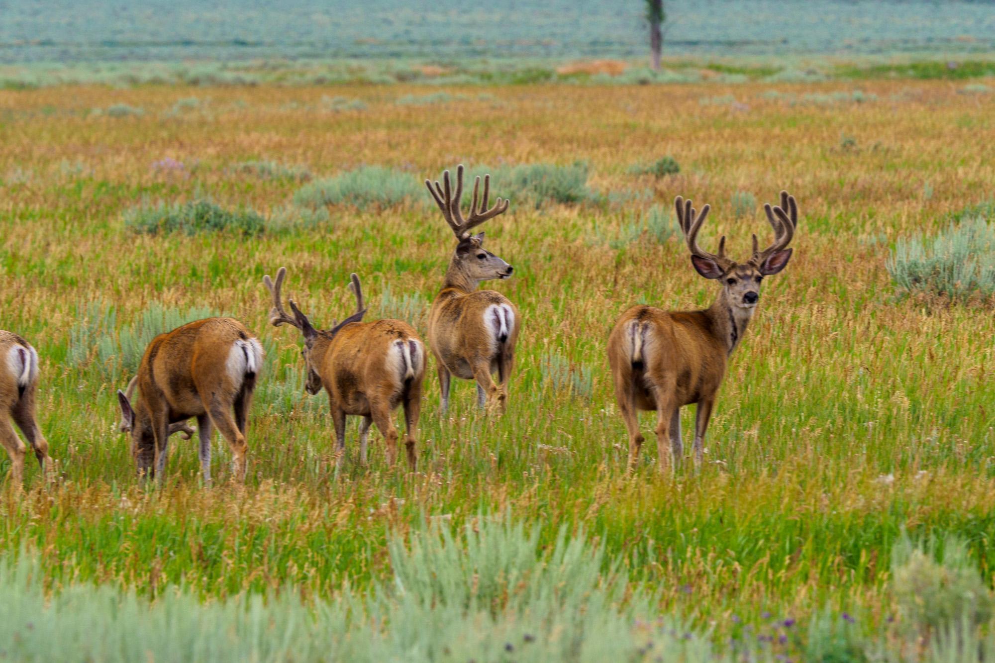 Grand Teton Nationalpark - Junghirsche in der Jackson-Hole-Ebene