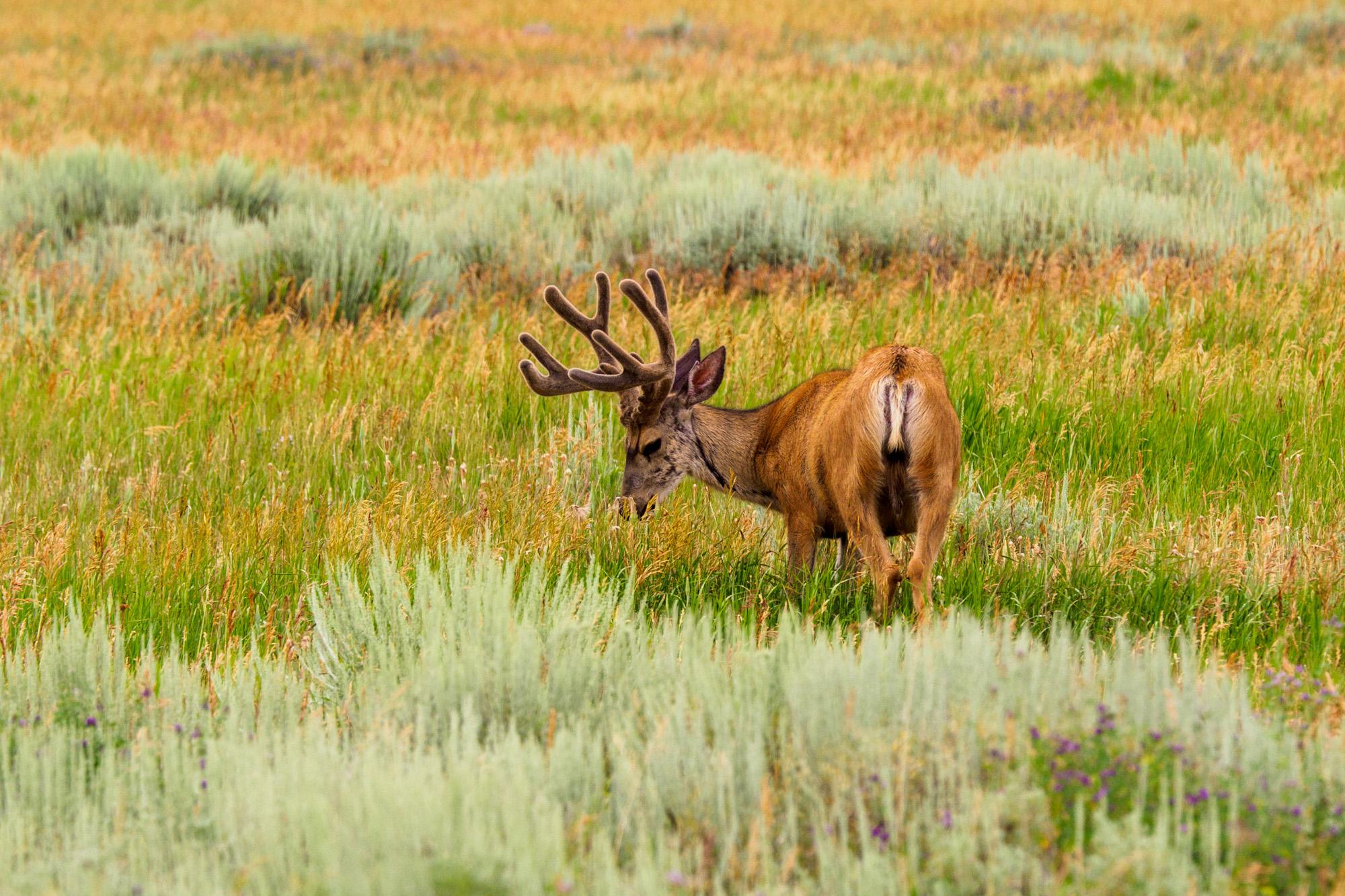 Grand Teton Nationalpark - Junghirsch in der Jackson-Hole-Ebene