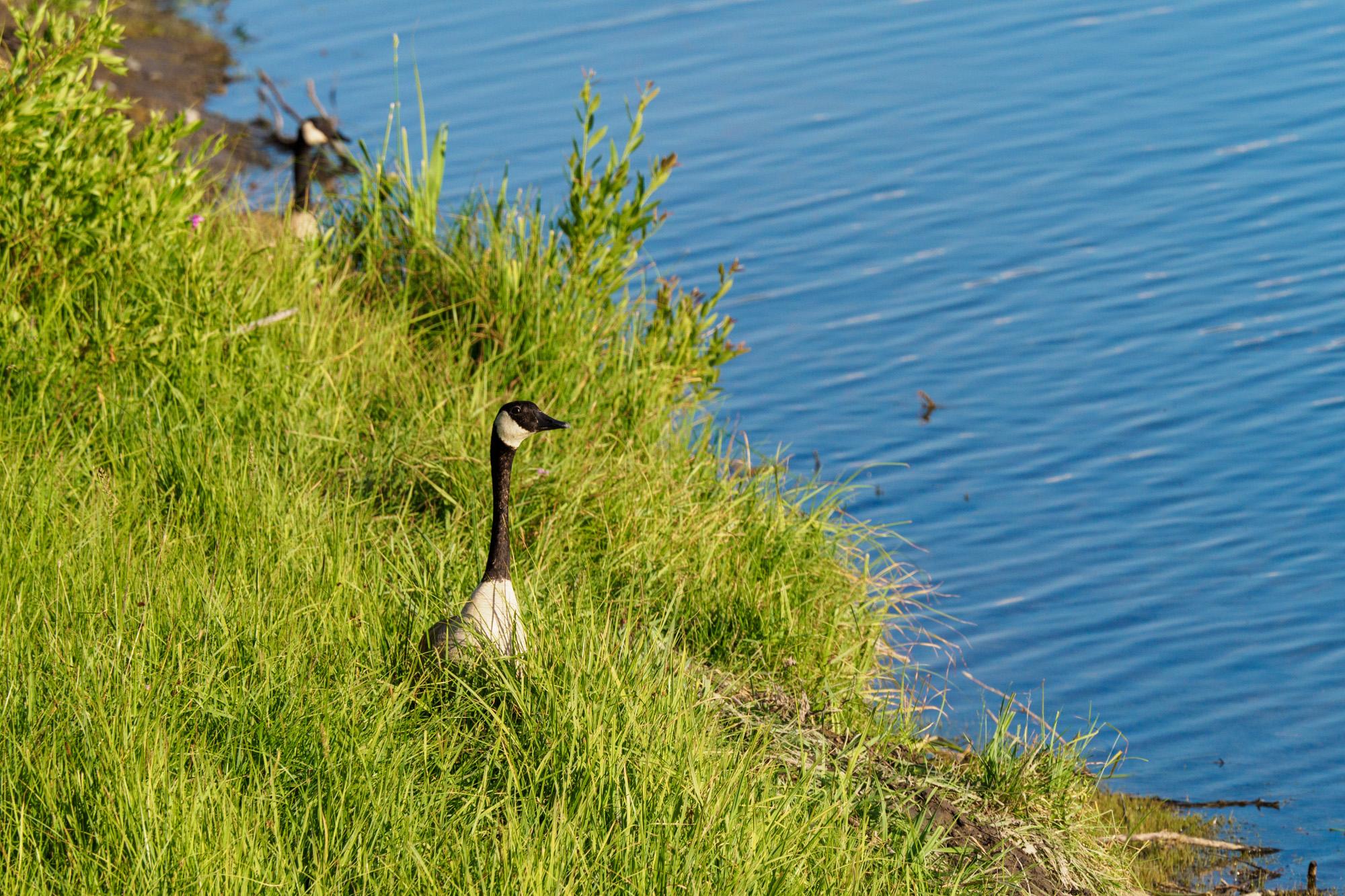 Grand Teton Nationalpark - Ente beim Oxbow Bend