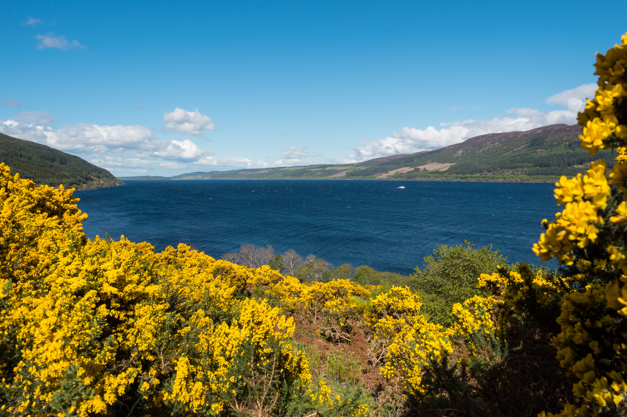 Great Glen Way - Blühende Ginster am Loch Ness