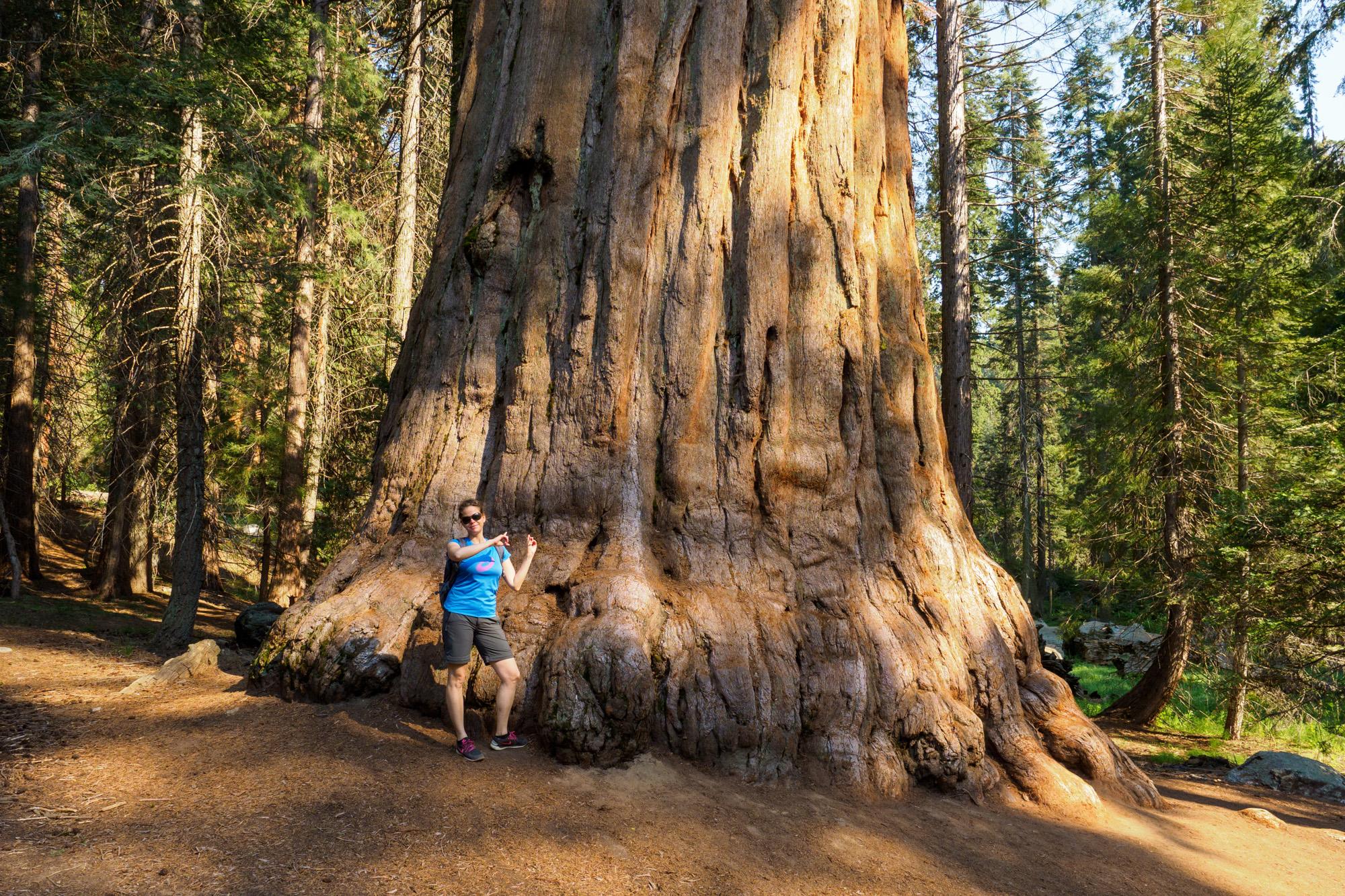 Sequoia Nationalpark - Sequoia-Baum