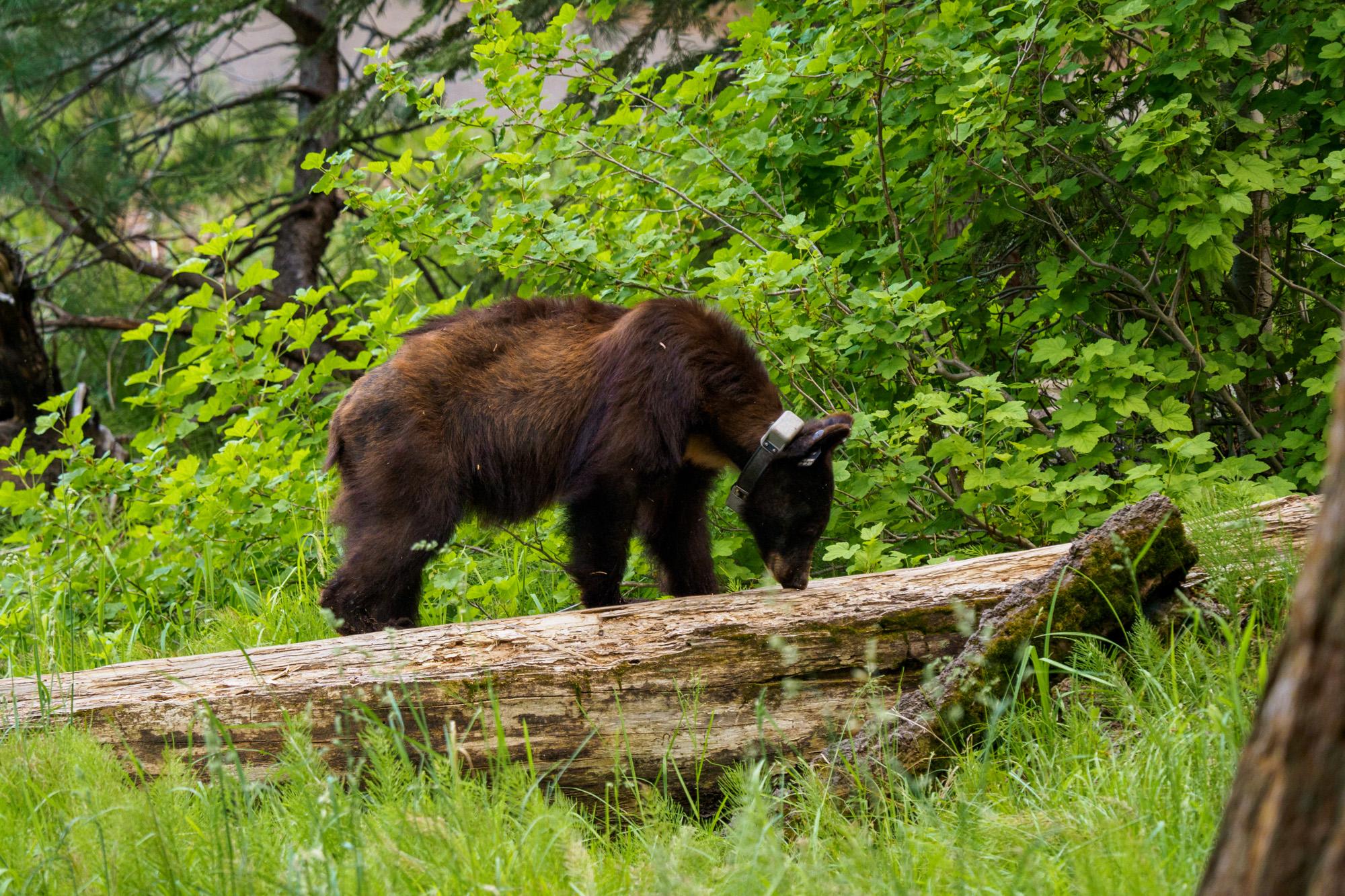 Sequoia Nationalpark - Schwarzbär auf dem Big Trees Trail