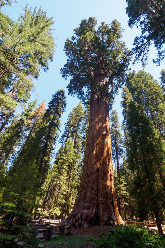 Sequoia Nationalpark - General Sherman Tree. Der grösste Baum der Erde.