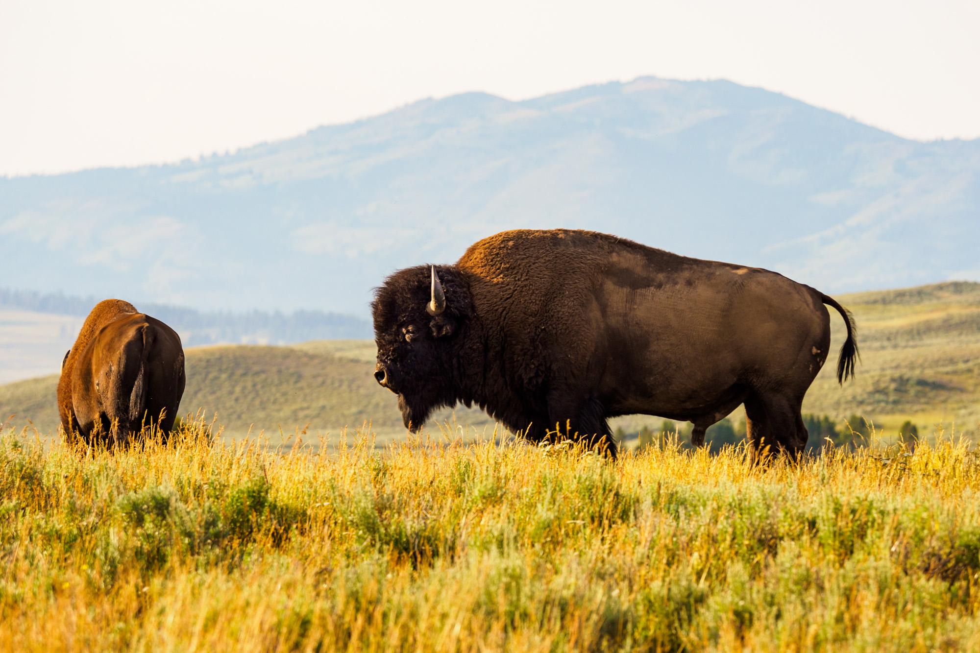 Yellowstone Nationalpark - Bisons im Hayden Valley