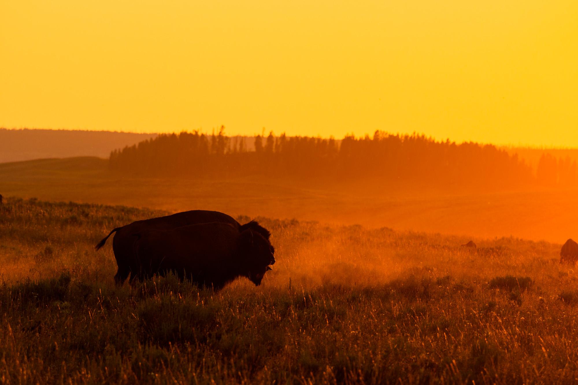 Yellowstone Nationalpark - Bison im Hayden Valley