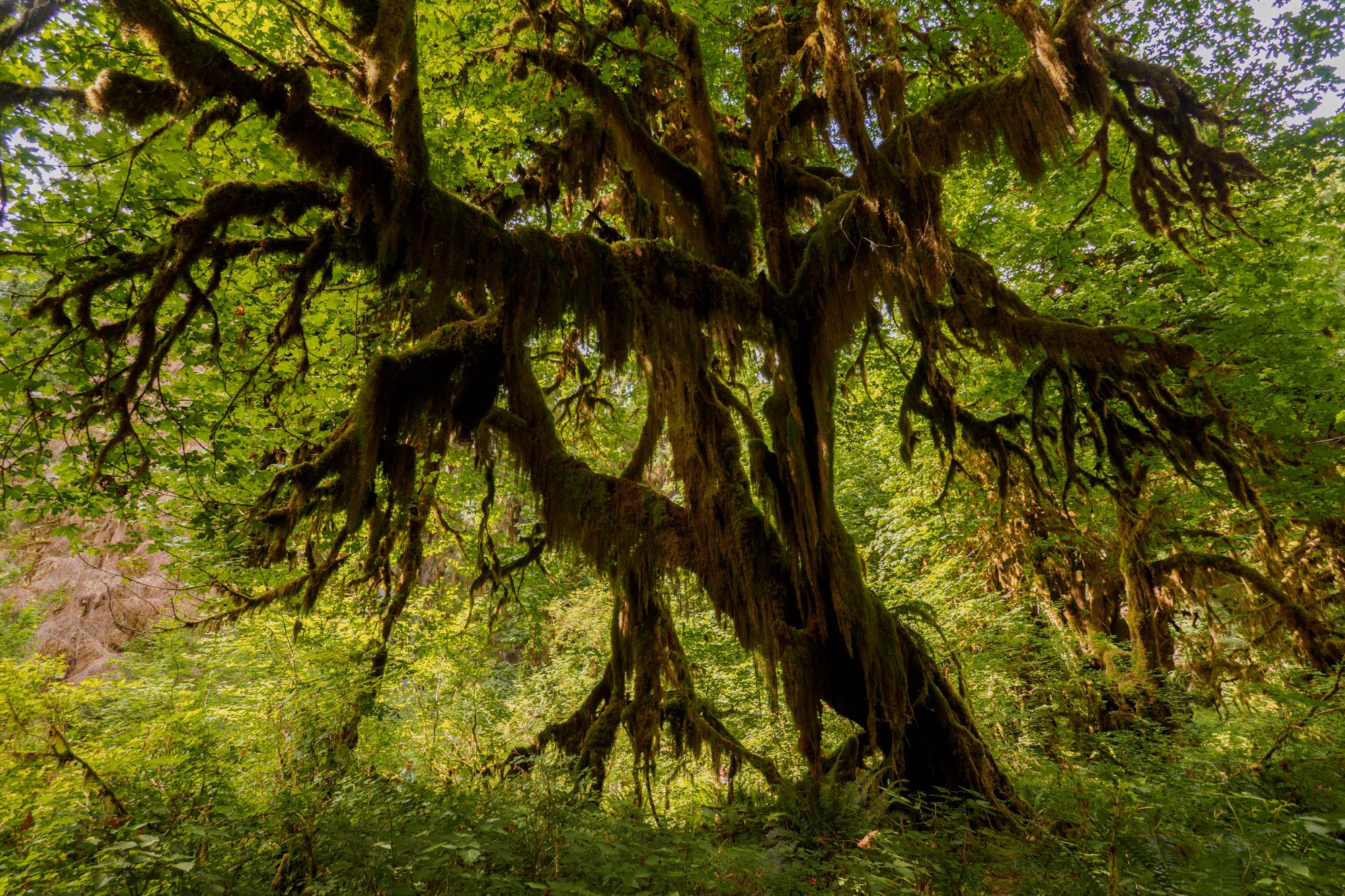 Olympic Nationalpark - Hoh Rain Forest