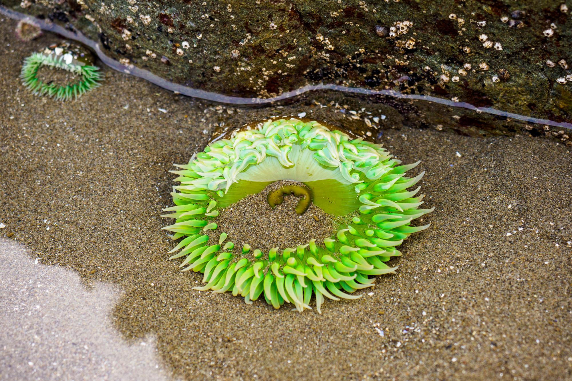 Olympic Nationalpark - Seeanemone
