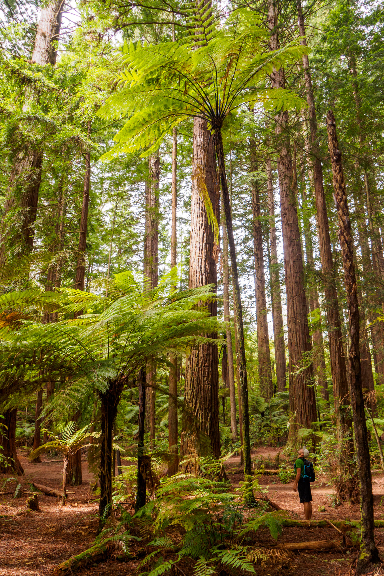 Rotorua und Taupo - Redwood Forest in Rotorua