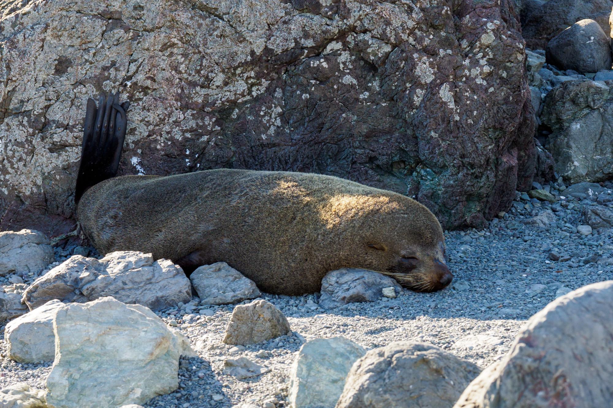 Cape Palliser - Fellrobbenweibchen