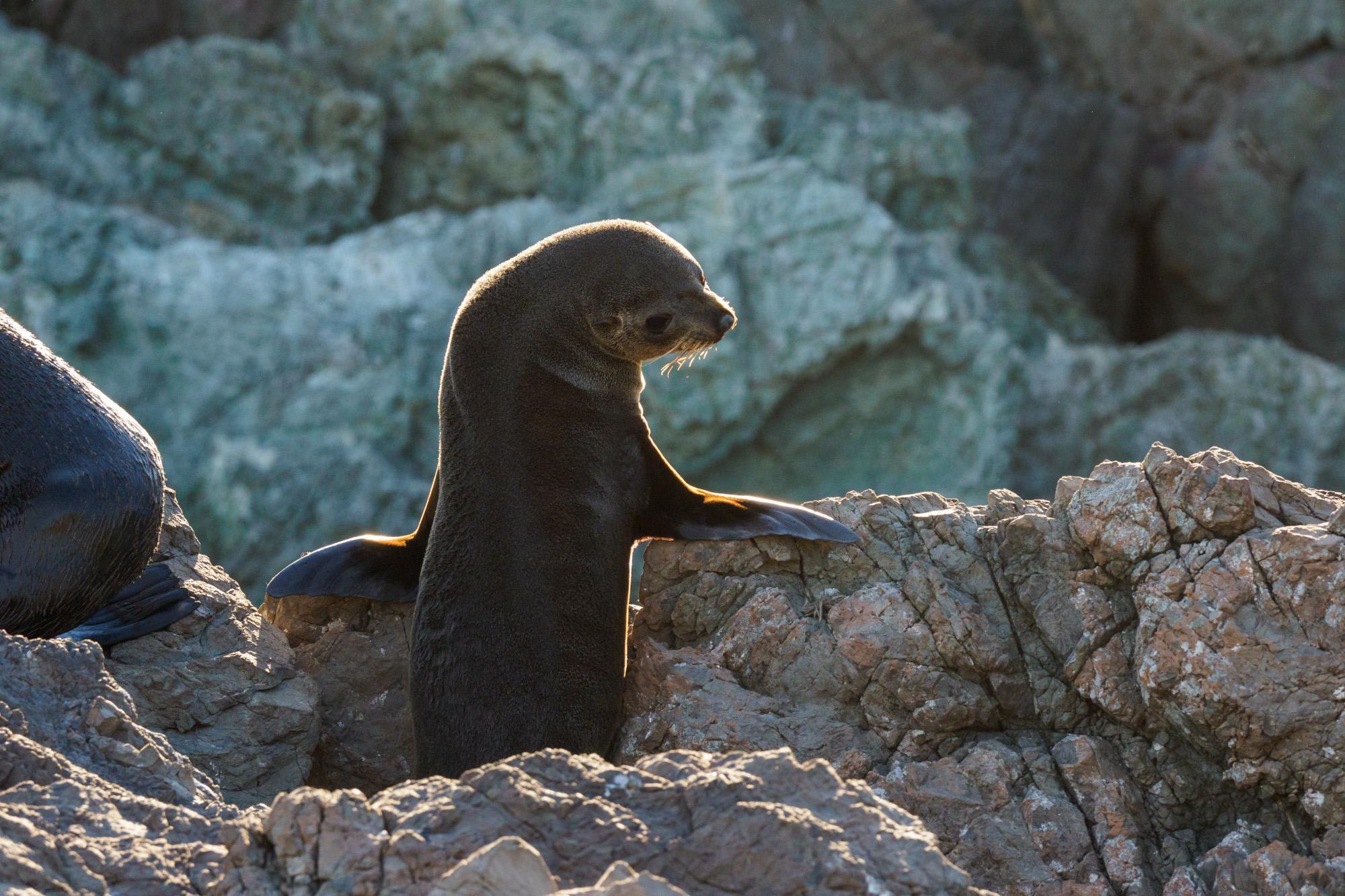 Cape Palliser - Männchen