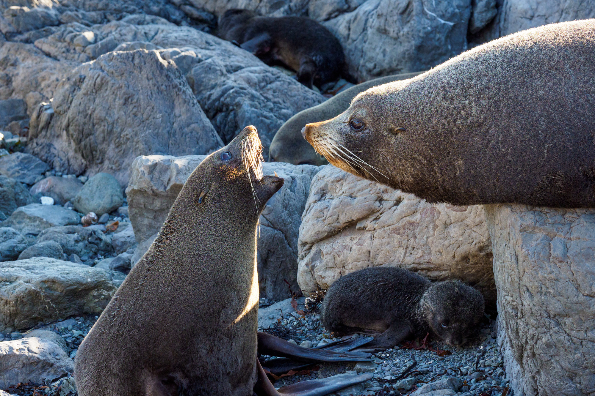 Cape Palliser - Weibchen gibt den Tarif durch