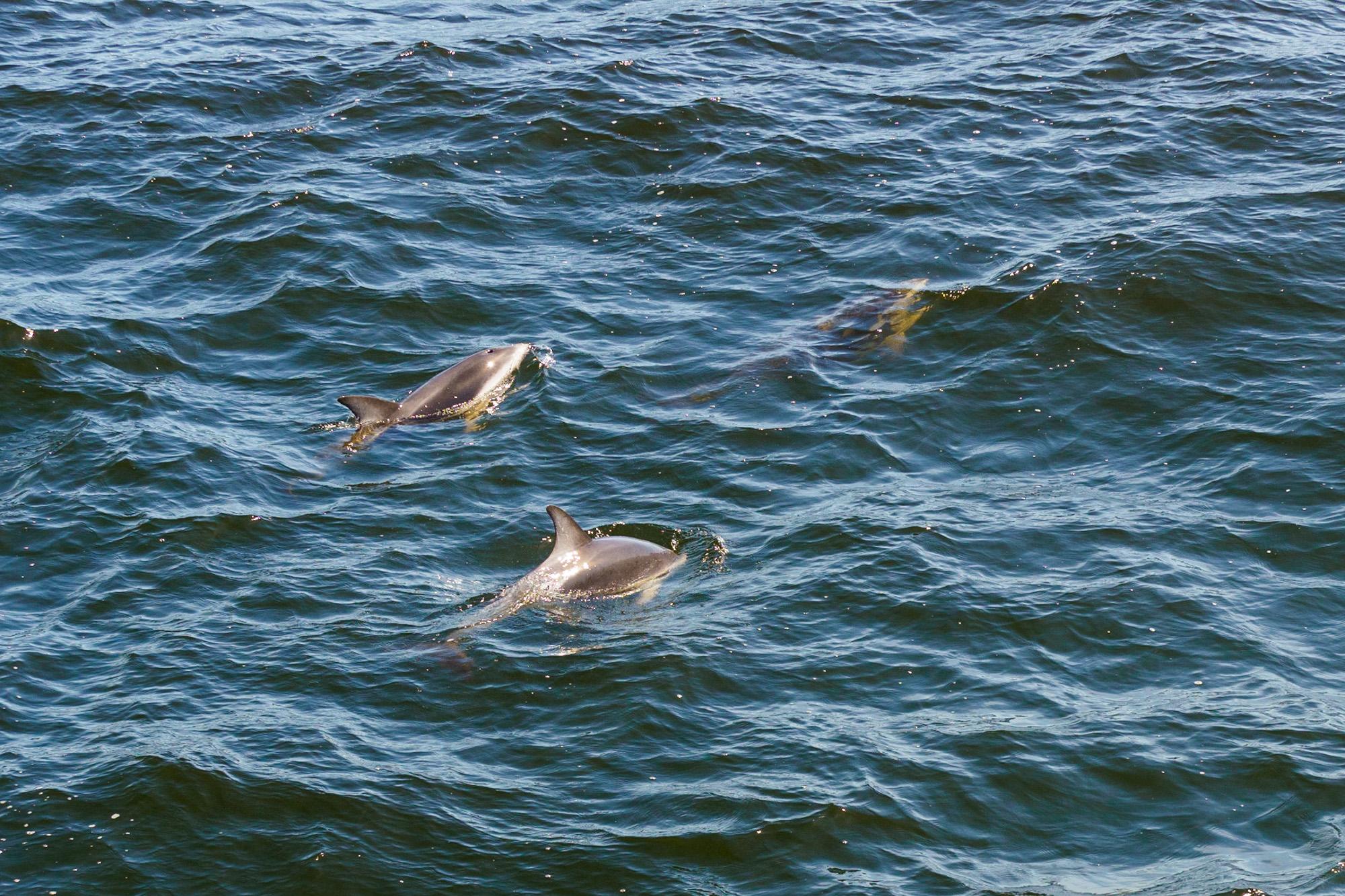 Milford Sound - Delfine in der Anita Bay