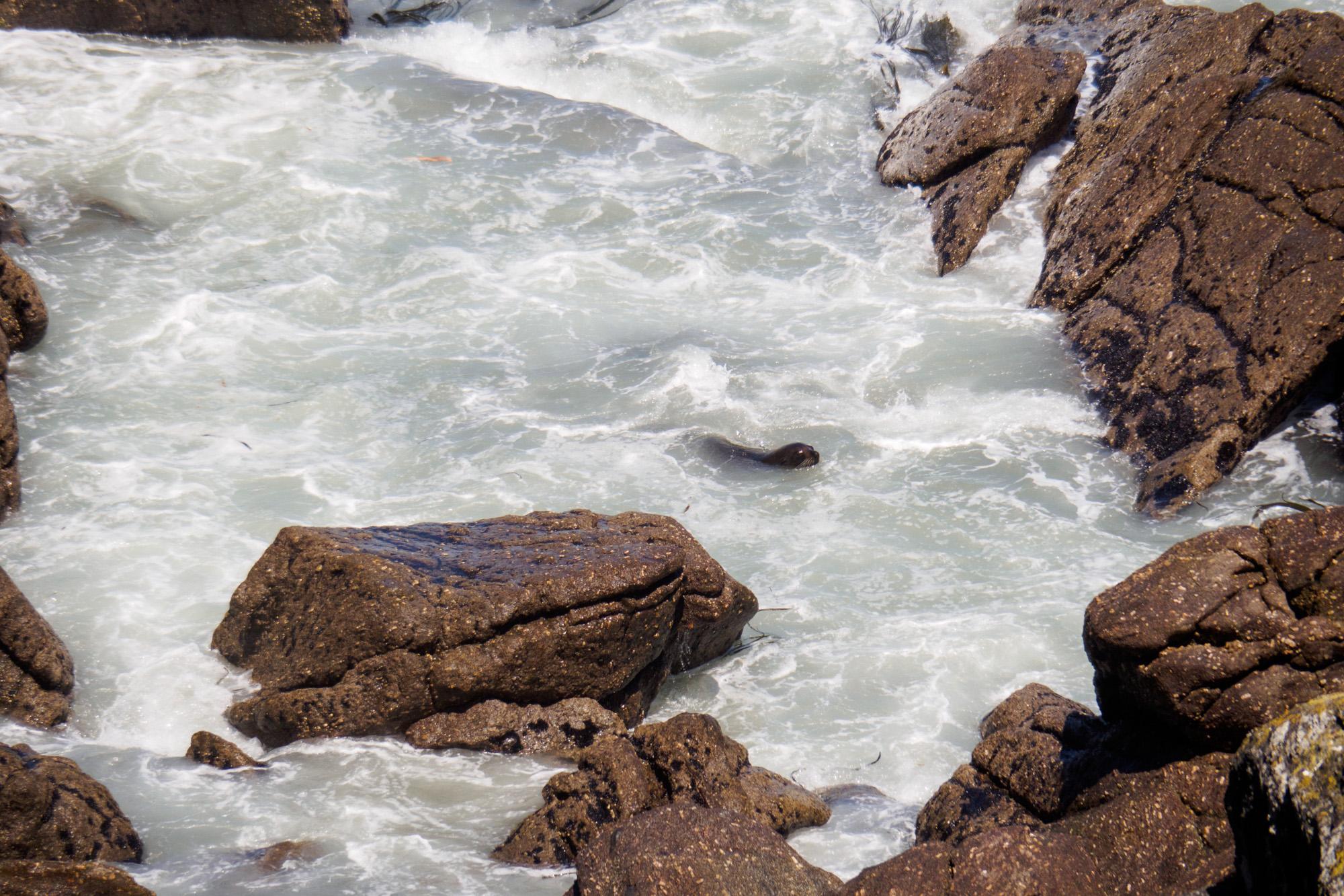 Westküste - Fellrobbe am Cape Foulwind