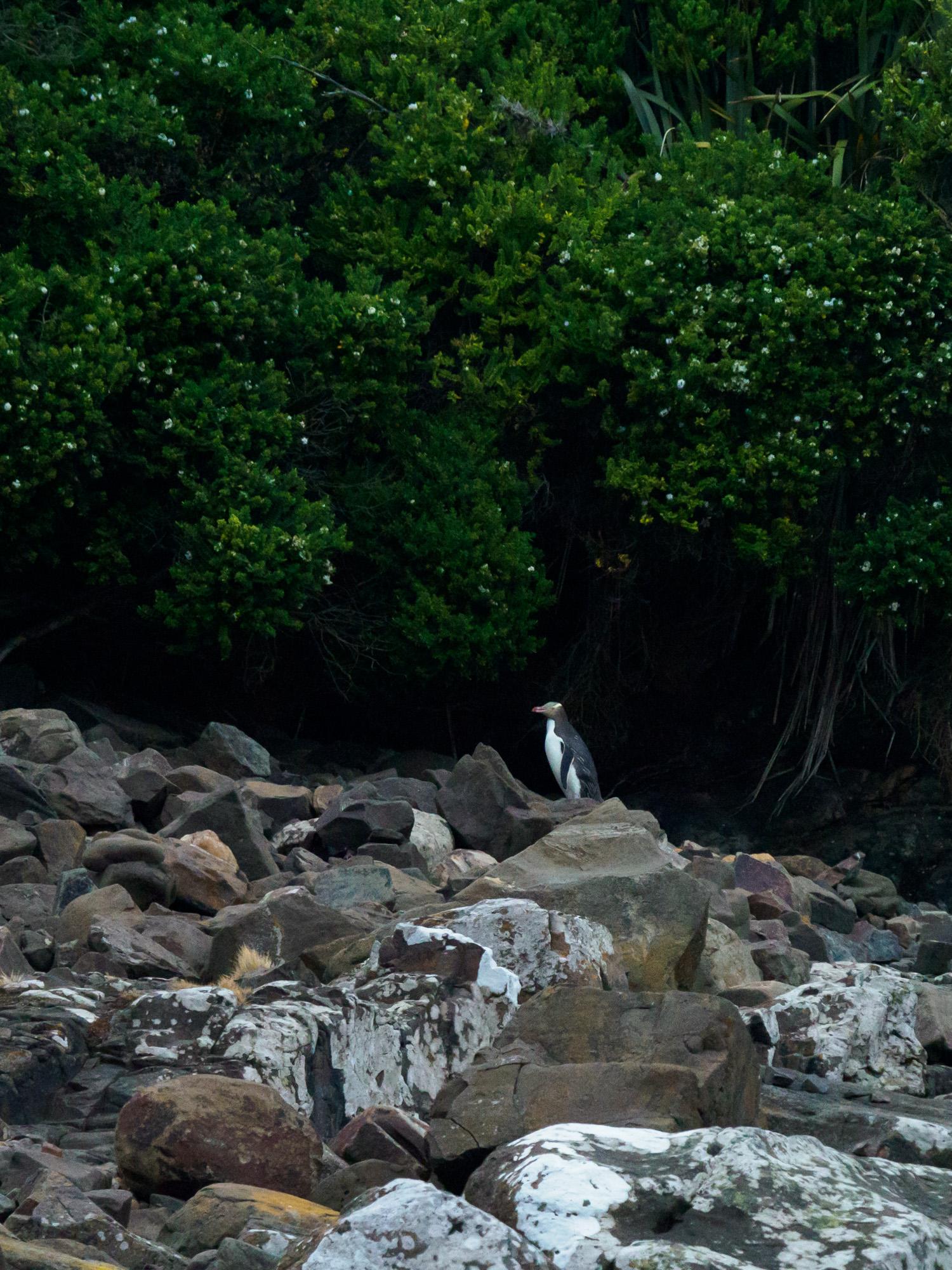 Catlins - Gelbaugen-Pinguin in der Curio Bay