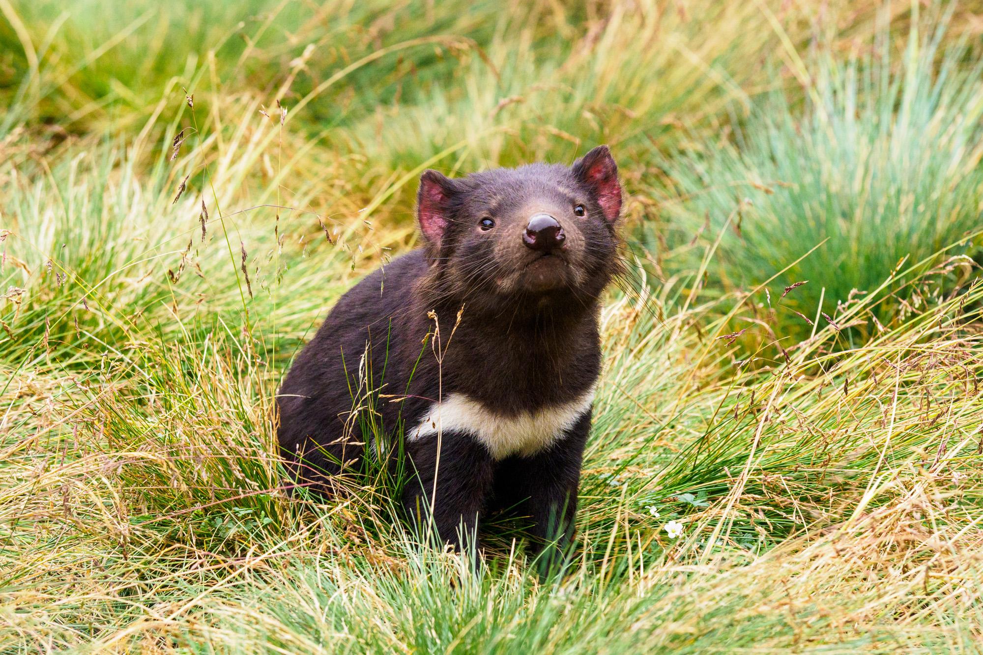 Cradle Mountain Nationalpark - Tasmanischer Teufel