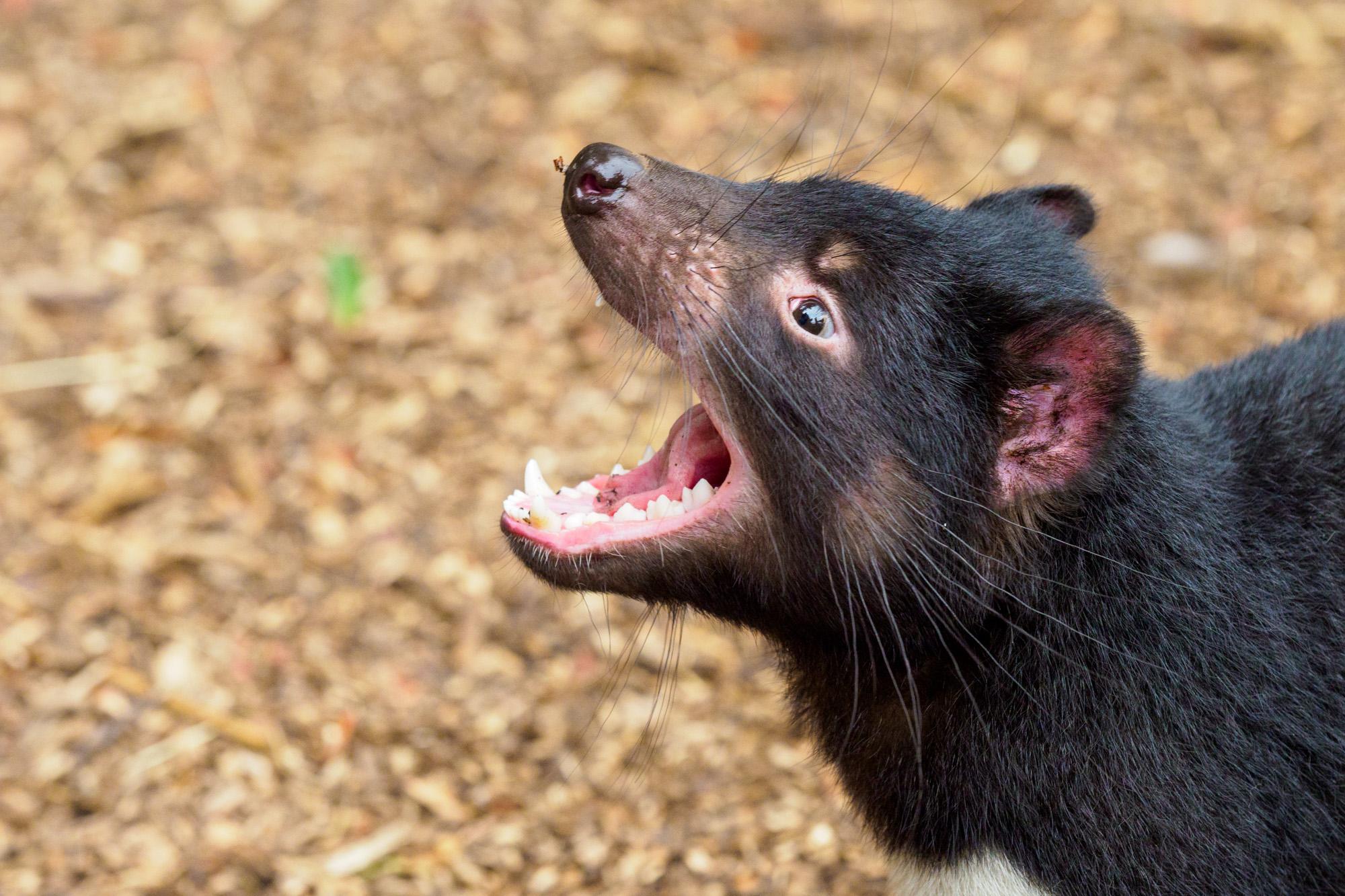 Cradle Mountain Nationalpark- Tasmanischer Teufel