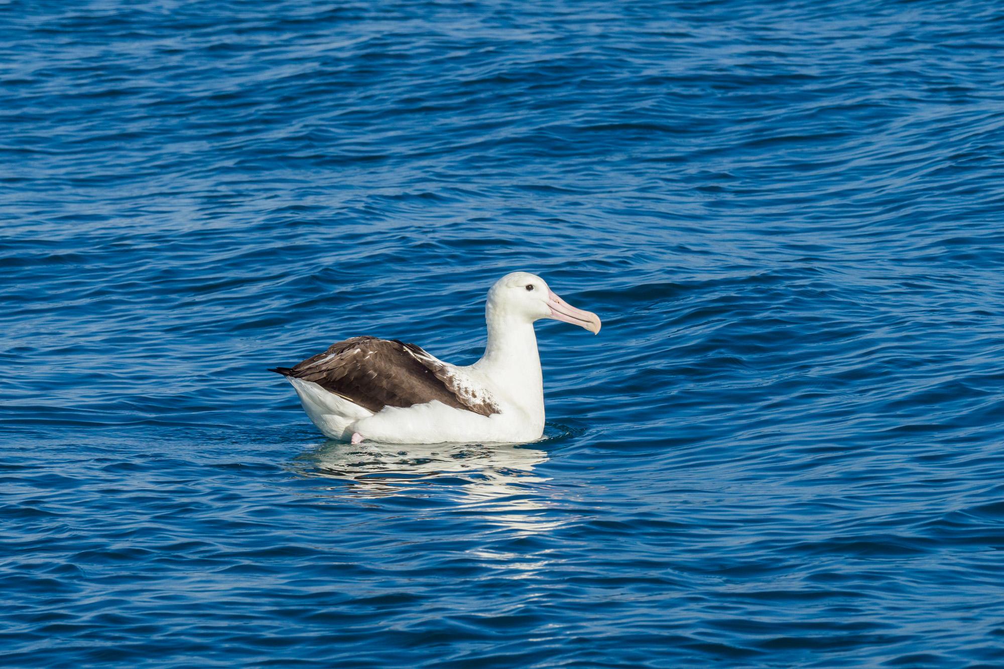Kaikoura - Albatros