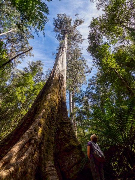 Mt Field Nationalpark - Tall Tree Walk