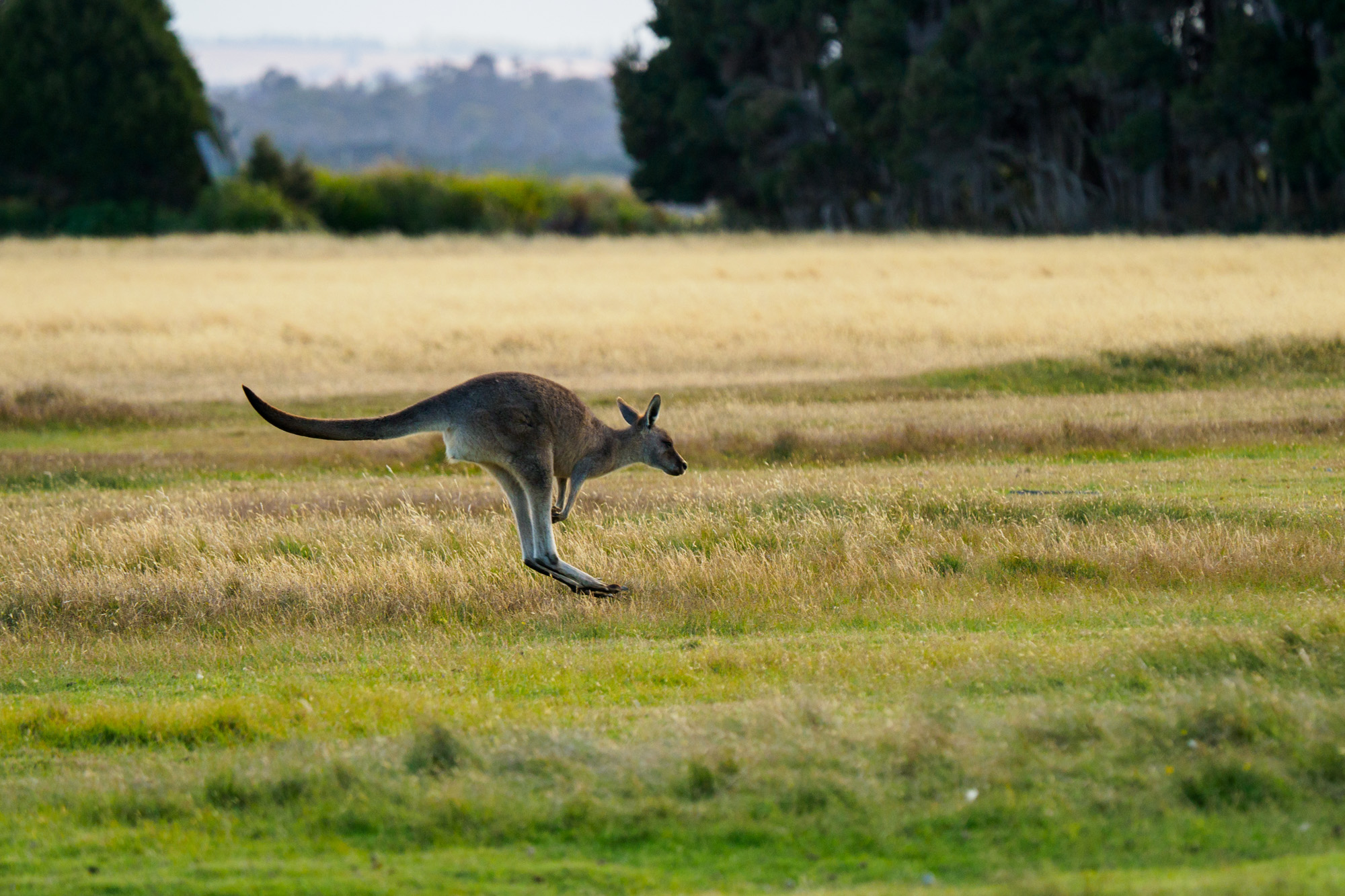 Nordküste - Känguru im Narawntapu Nationalpark