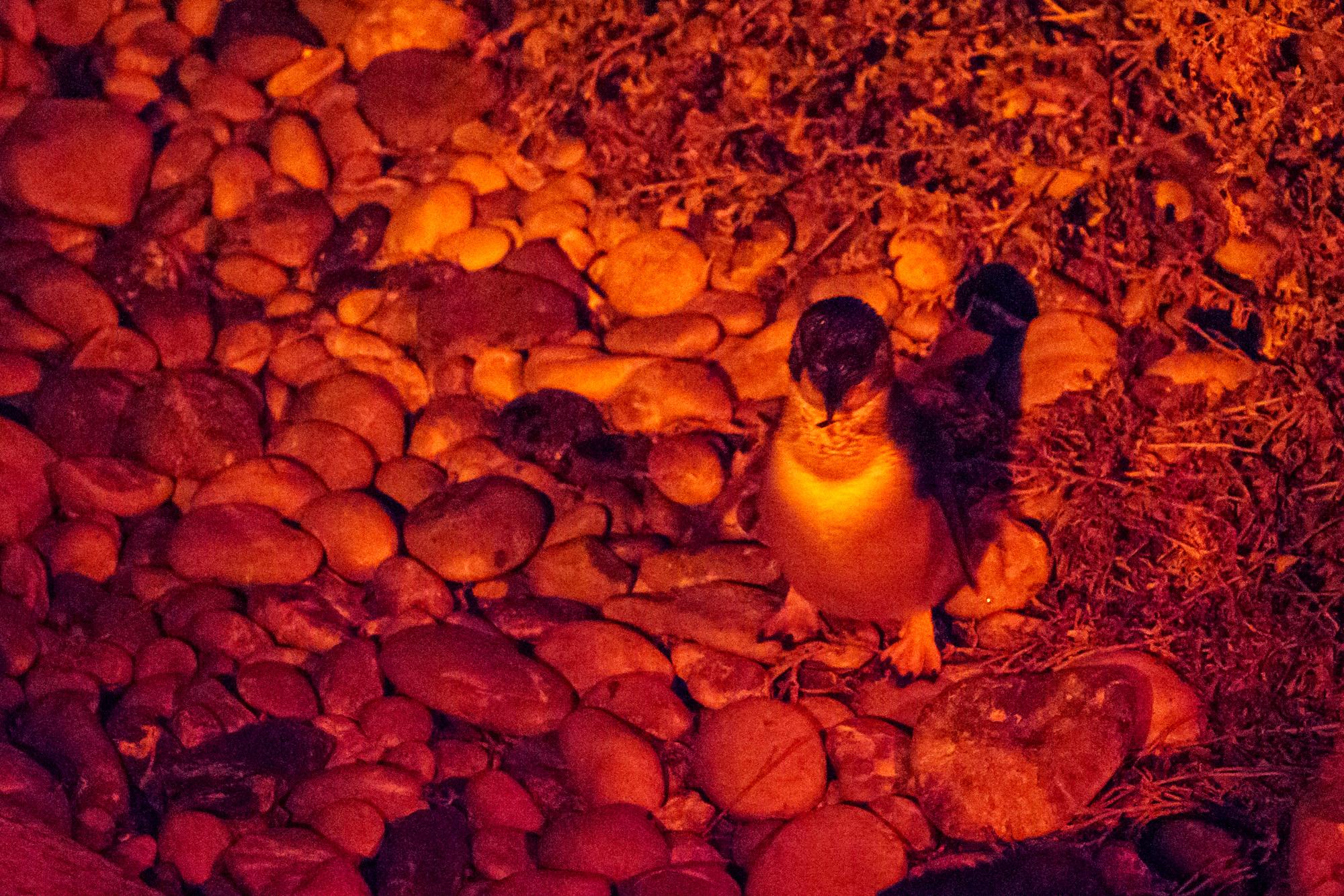 Nordküste - Little Pinguine beim Lilico Beach