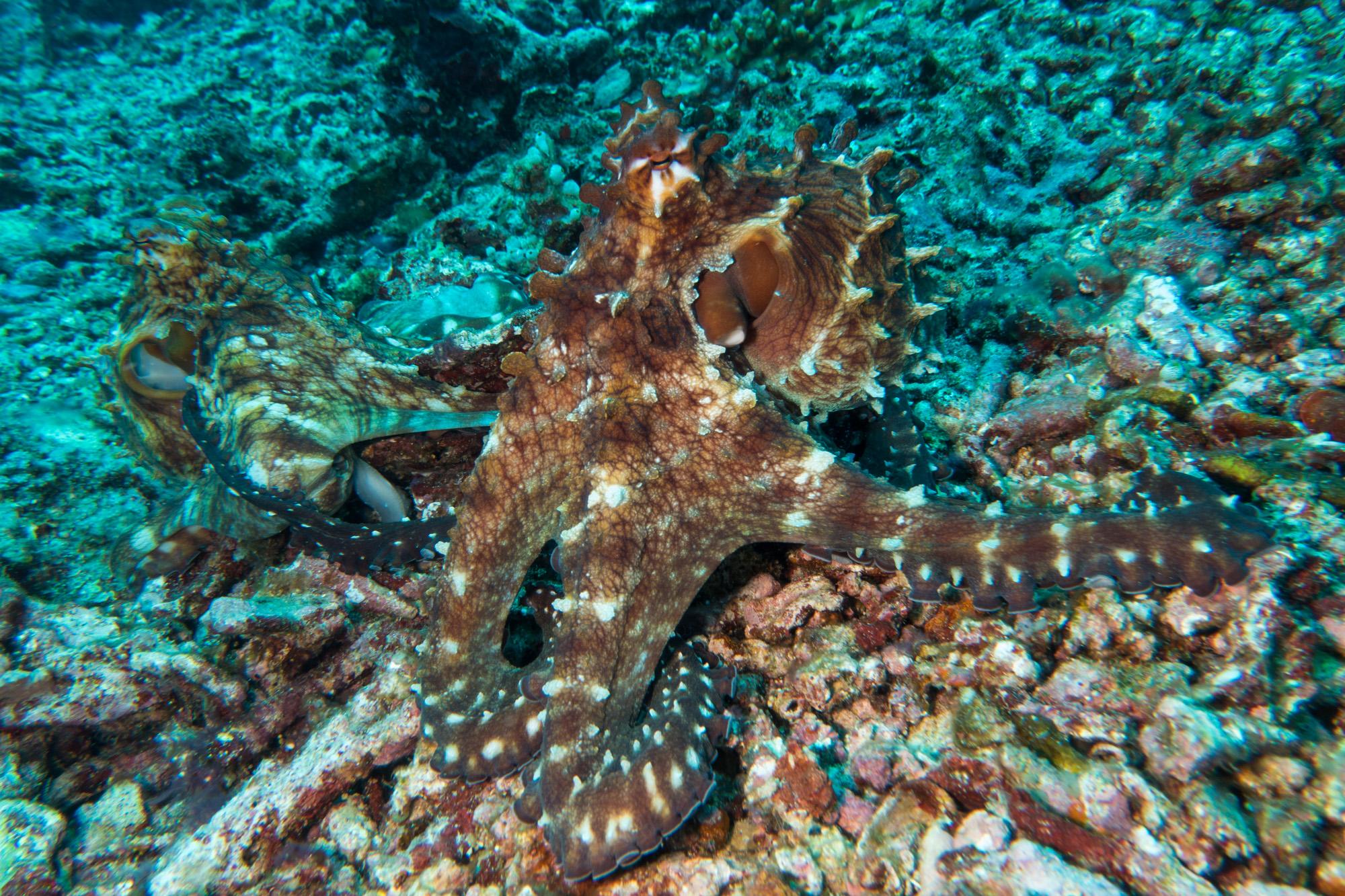 Gili Trawangan - Oktopus