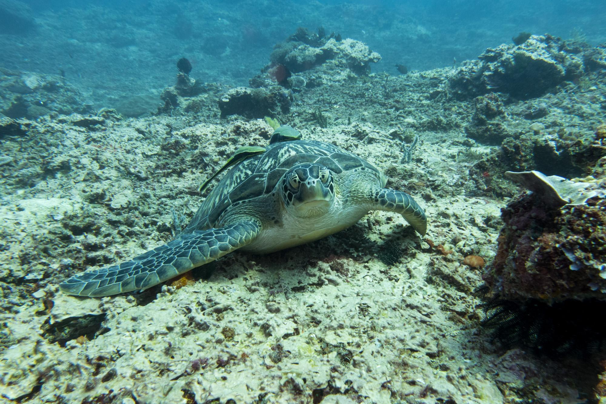 Gili Trawangan - Meeresschildkröte