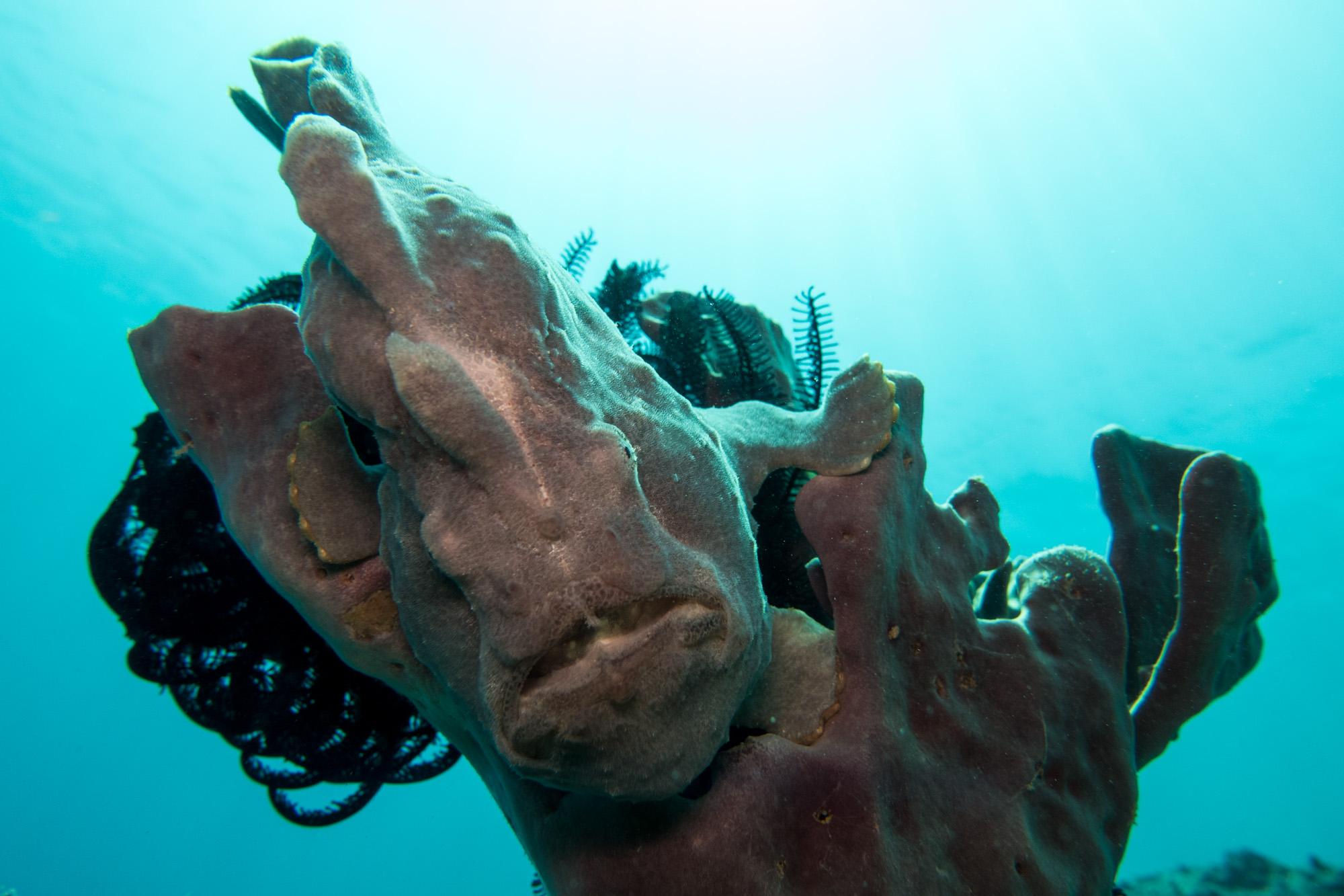 Komodo Nationalpark - Anglerfisch