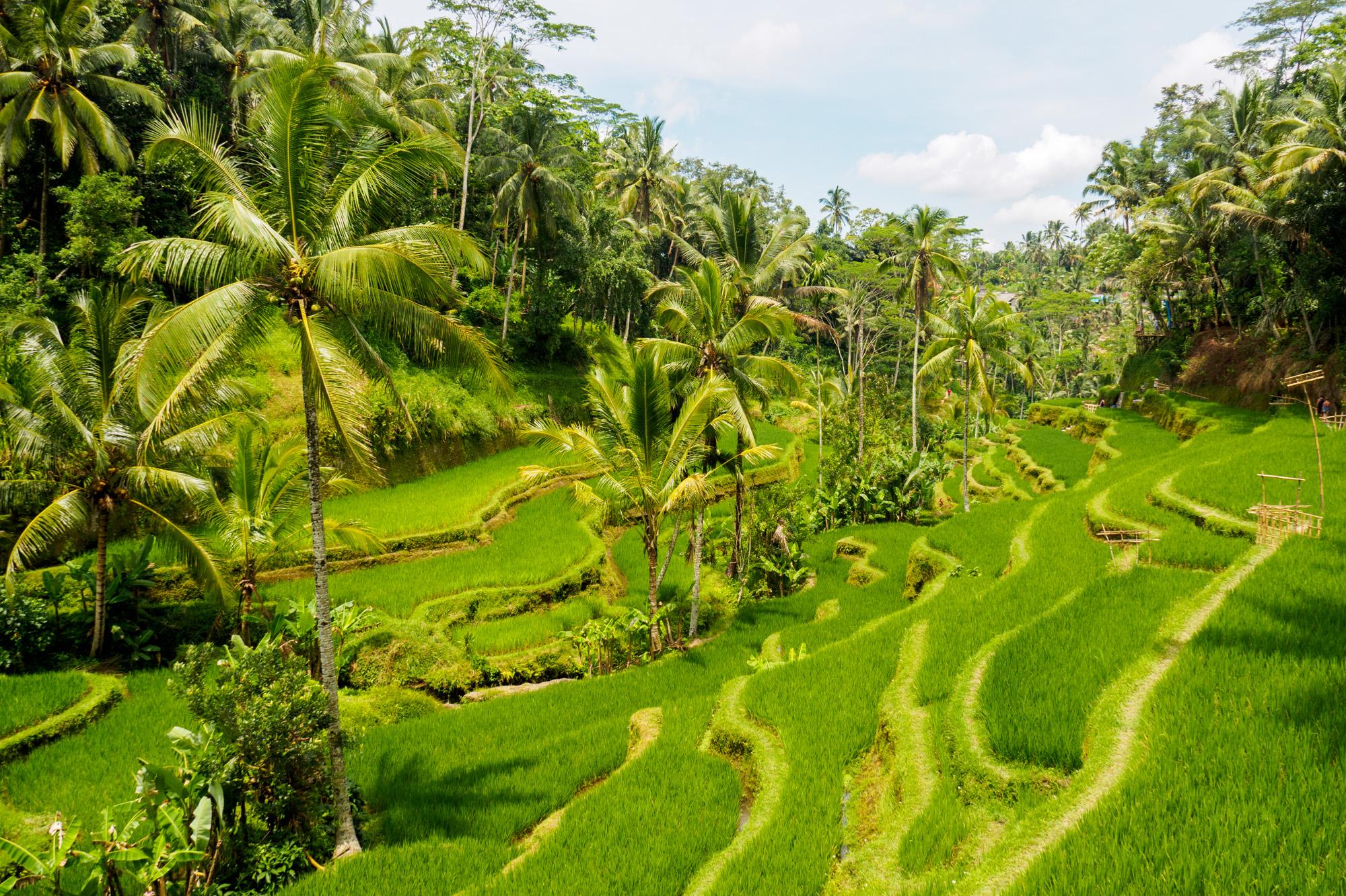 Ubud - Unterwegs in den Tegallalang Rice Terraces